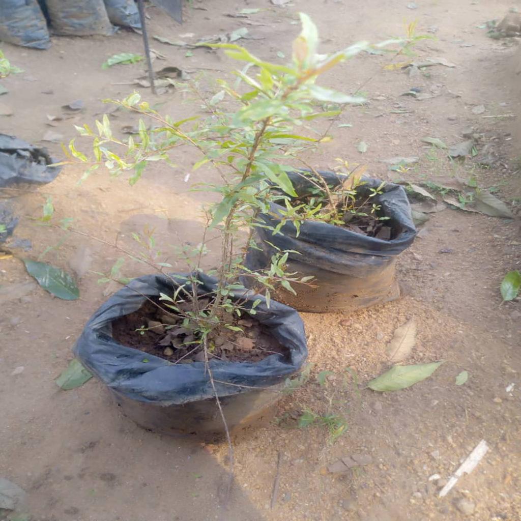 Pomegranate (nkomamawanga)